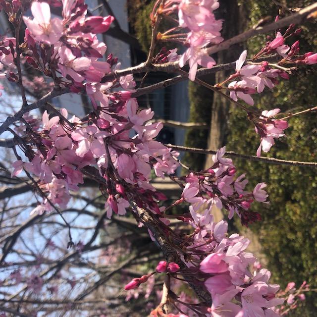 桜、咲く。年度末の仕事あれこれ